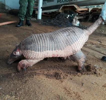 Tatu gigante ameaçado de extinção é capturado...