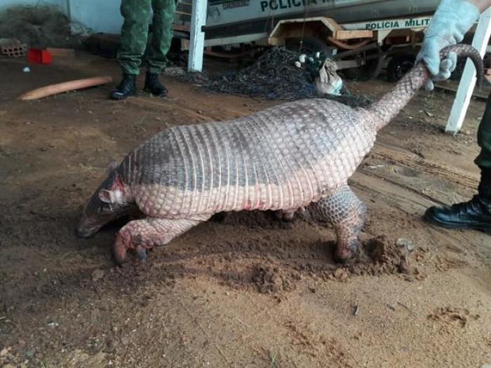 Tatu gigante ameaçado de extinção é capturado ferido no Tocantins