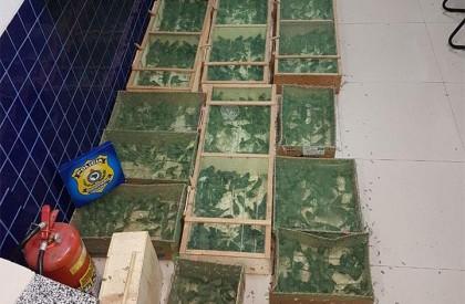 Polícia apreende mais de 1.200 pássaros sendo transportado ilegalmente