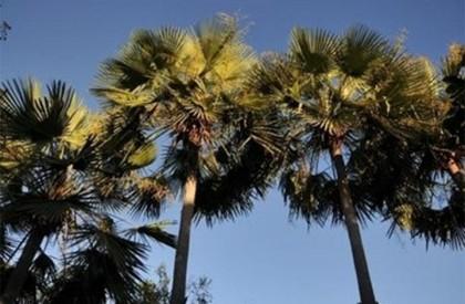 Piauí: Carnaúba é eleita árvore símbolo do Estado