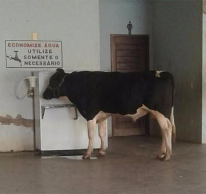 Vaca bebe água em bebedouro de escola...