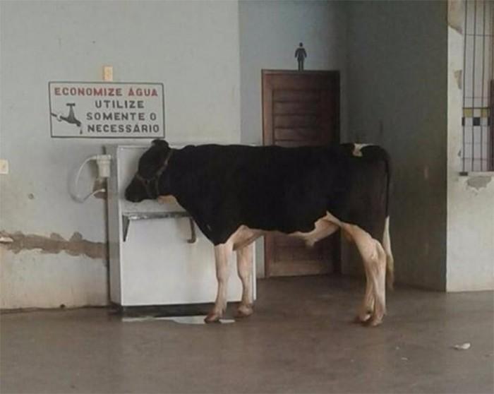 Vaca bebe água em bebedouro de escola no litoral do PI