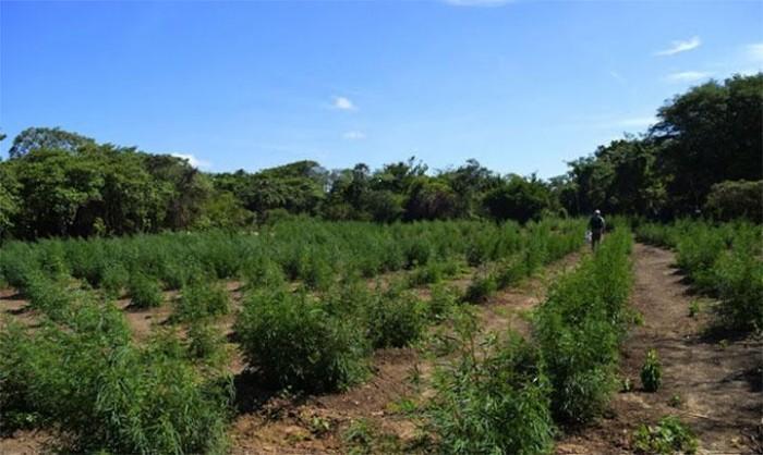 PM encontra plantação de maconha em Ilha Grande do Piauí
