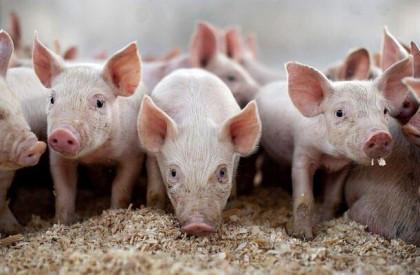 Segundo foco de peste suína é confirmado no Piauí