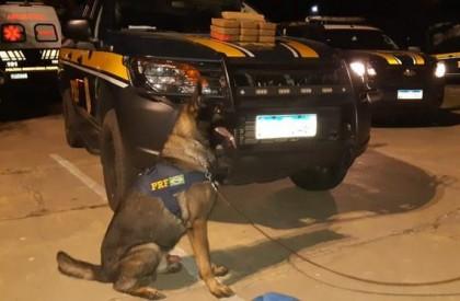 Com ajuda de cães farejadores, PRF apreende na BR 316 munições e droga avaliada em R$ 1,1 Mi